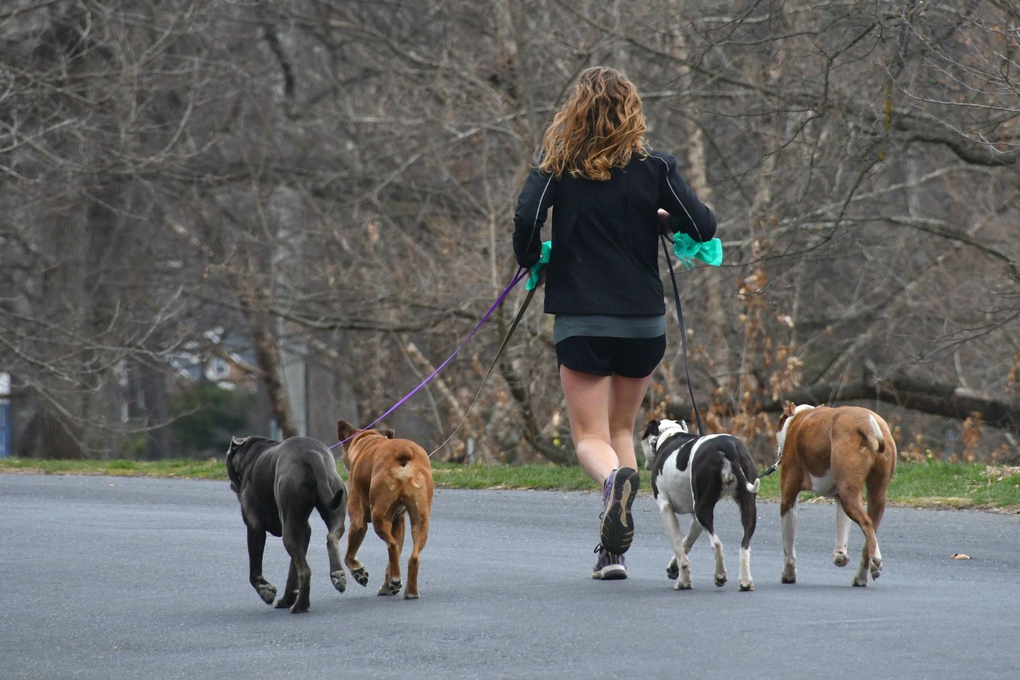 Female jogger runner walking dogs while running for exercise. Dog walker