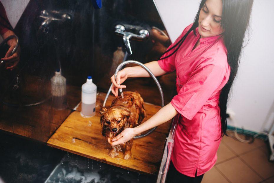 Pet grooming, dog washing in groomer salon