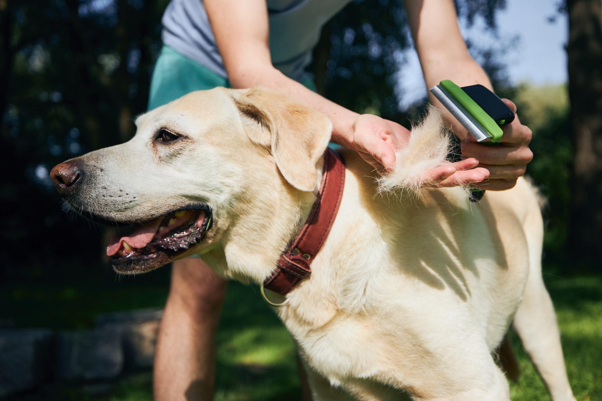 Pet owner is brushing fur of his dog